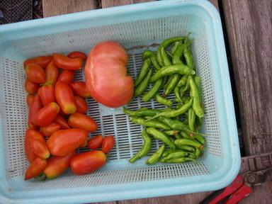 収穫トマトシシトウ12_08_28