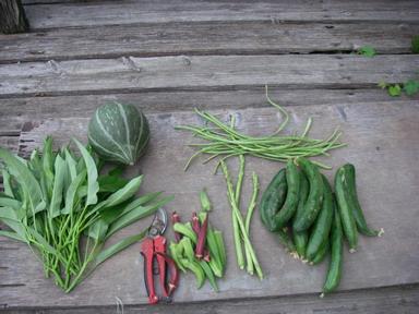 収穫夏野菜12_08_29