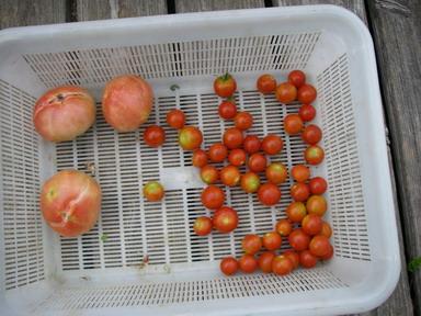 収穫トマト12_08_29