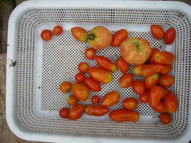 収穫トマト12_08_31