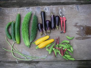 収穫夏野菜12_08_31