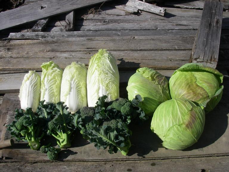 収穫キャベツ白菜13_02_10