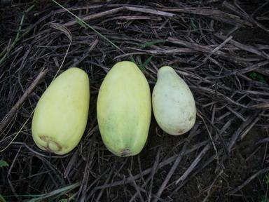 収穫バナナウリ12_09_02