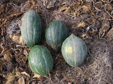 収穫カボチャ12_09_02