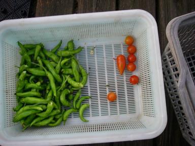 収穫トマトシシトウ12_09_03