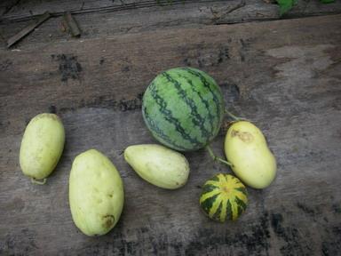 収穫ウリスイカ12_09_09