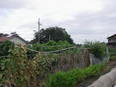 キュウリ撤去前12_09_09