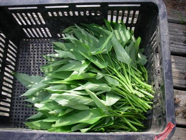 収穫エンツァイ12_09_09