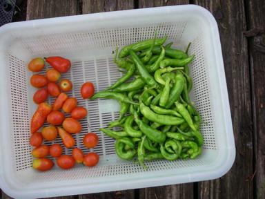 収穫シシトウトマト12_09_09