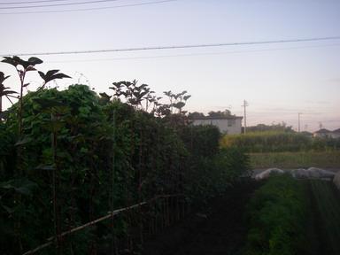 オクラ(ベニー)12_09_12