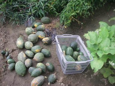 カボチャ収穫12_09_15