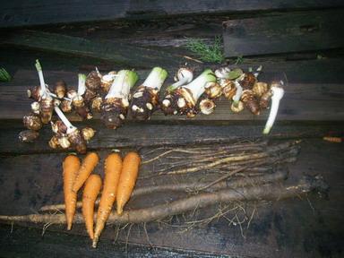 収穫根菜12_09_15