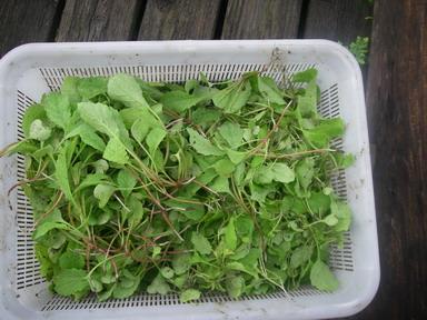 収穫抜き菜12_09_15