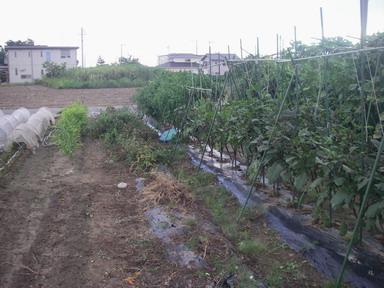 トマト撤去12_09_16
