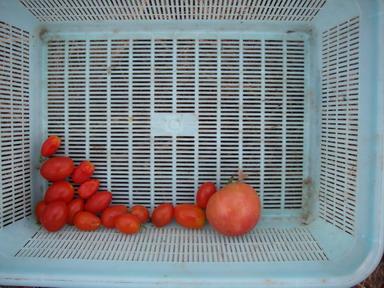 トマト収穫12_09_16