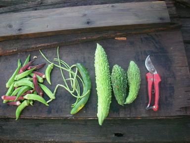 収穫夏野菜12_09_16