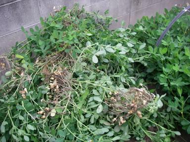 落花生収穫12_09_22