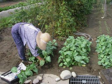 キャベツブロッコリー苗12_09_22