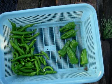 収穫ピーマンシシトウ12_09_24