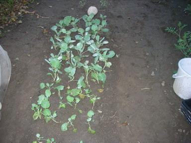 ブロッコリーキャベツ苗12_09_25