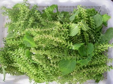 収穫青紫蘇12_09_29
