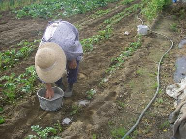 ジャガイモ追肥12_09_30