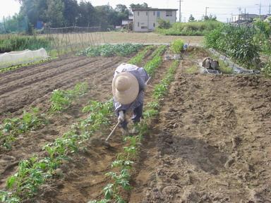 ジャガイモ土掻き込み12_09_30