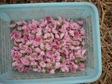 収穫食用菊12_10_06
