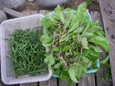 収穫インゲン日野菜12_10_06