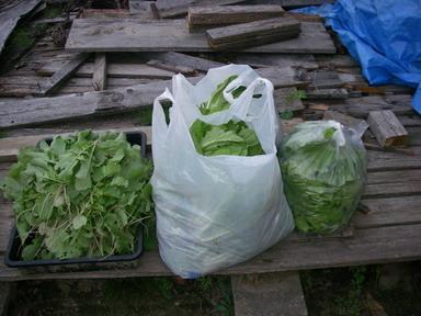 収穫間引き菜12_10_06