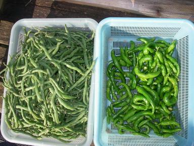 収穫インゲンシシトウ12_10_07