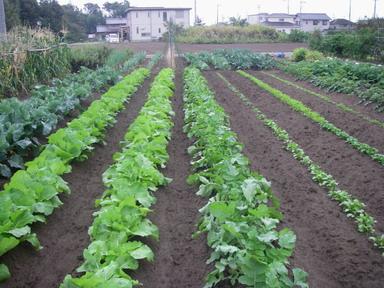 秋冬野菜12_10_18