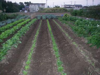 菜っ葉の畝12_10_16