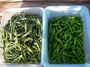 収穫インゲンシシトウ12_10_20