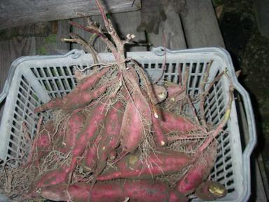 収穫サツマイモ12_10_20