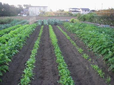 菜っ葉の畝12_10_24