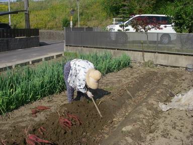 サツマイモ掘り12_10_27
