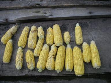 収穫スイートコーン12_11_23