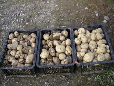 ジャガイモ収穫12_12_08