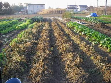 収穫前12_12_08