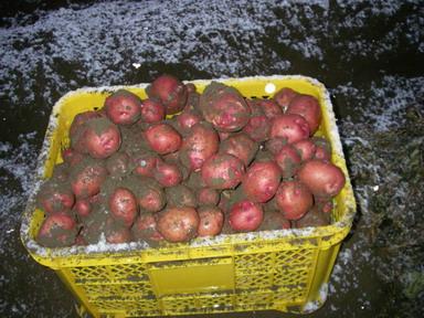 収穫アンデス12_12_09