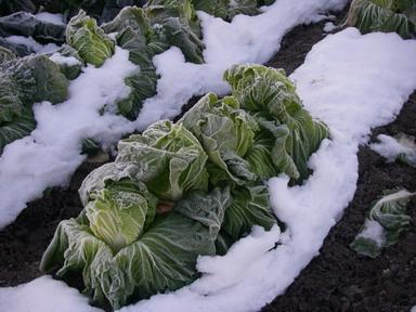 白菜12_12_12