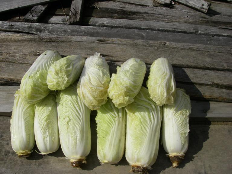 収穫白菜2_13_02_23