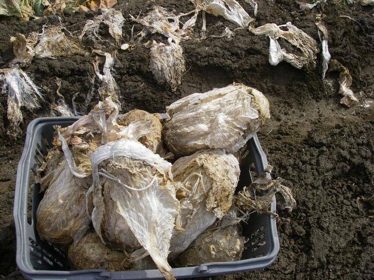 収穫白菜1_13_02_23