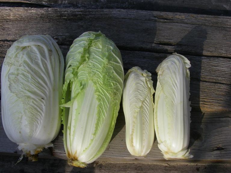 収穫白菜13_03_09