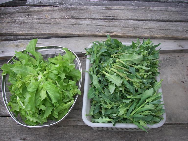 収穫菜花13_03_10