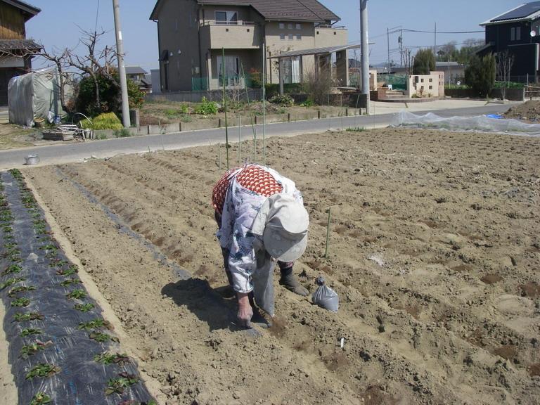 ジャガイモ石灰窒素13_03_16