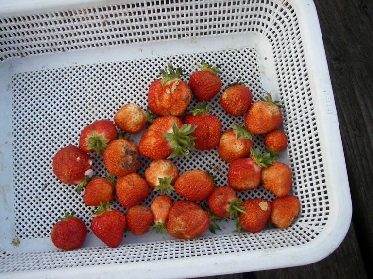 収穫イチゴ13_04_27
