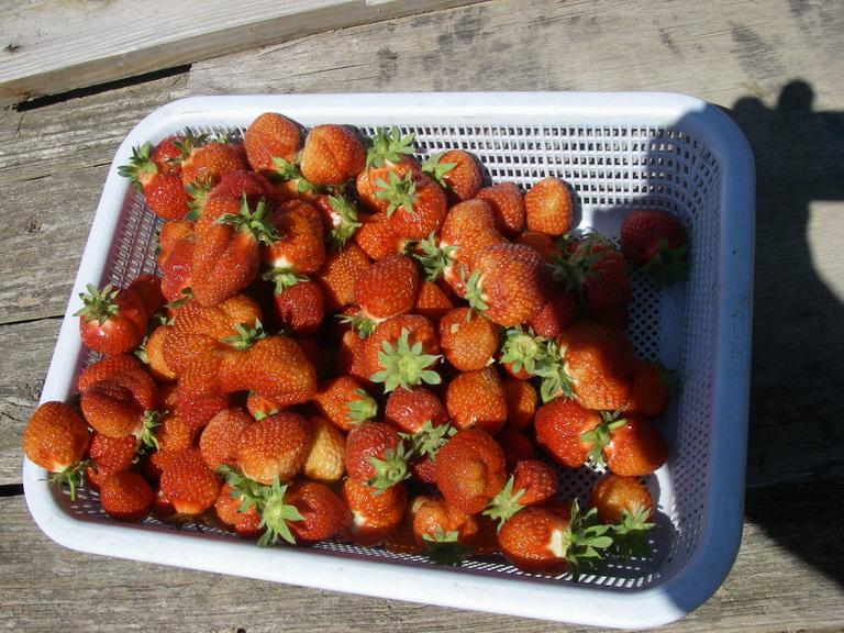 収穫イチゴ13_05_03