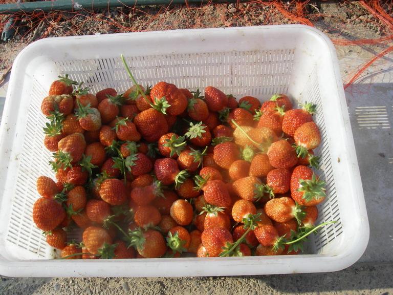 収穫イチゴ13_05_06